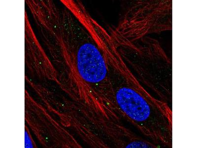 SBSN Polyclonal Antibody