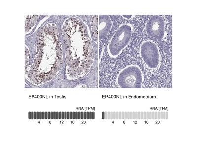 EP400NL Polyclonal Antibody
