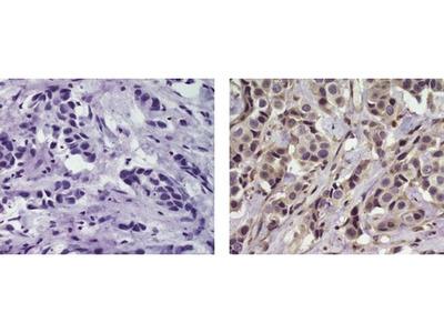 ErbB4 (Her4) Monoclonal Antibody (HFR1), Biotin, eBioscience™