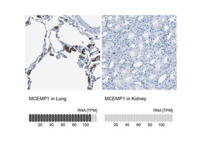 MCEMP1 Polyclonal Antibody