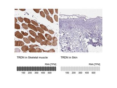 Triadin Polyclonal Antibody