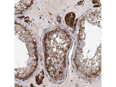LRRC56 Polyclonal Antibody
