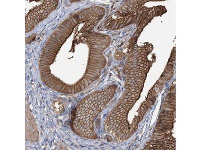 Cyclin Y Polyclonal Antibody