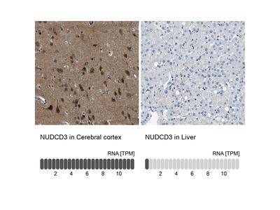 NUDCD3 Polyclonal Antibody