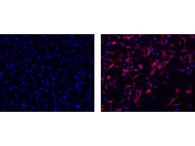 Vimentin Monoclonal Antibody (V9), eFluor 660, eBioscience™
