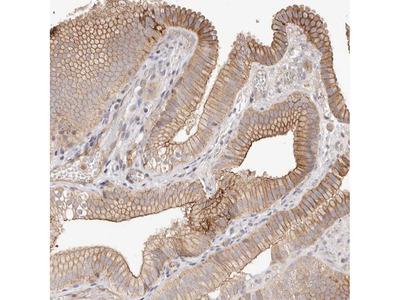 SLC35B2 Polyclonal Antibody