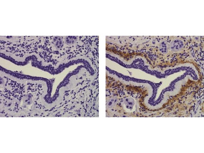Collagen X Monoclonal Antibody (X53), eBioscience™