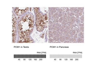 PCM1 Antibody