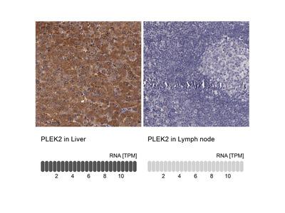 Pleckstrin 2 Antibody