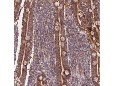 SLC35B4 Polyclonal Antibody