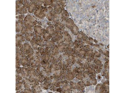 SLC38A2 Polyclonal Antibody