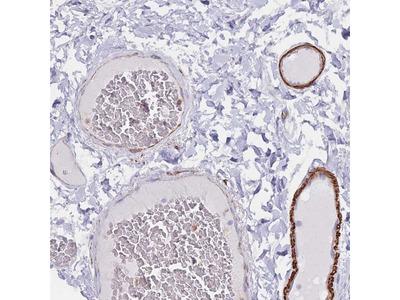 EPX Polyclonal Antibody