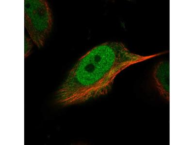 SNR48 Polyclonal Antibody