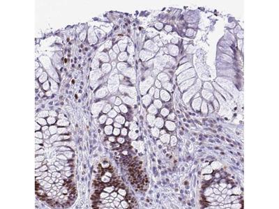 C1QL2 Antibody