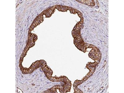 LRRC53 Polyclonal Antibody
