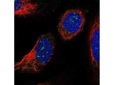 LSM7 Polyclonal Antibody
