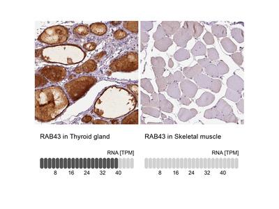 RAB43 Polyclonal Antibody