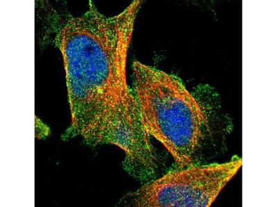Carboxypeptidase A4 Antibody
