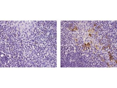 LAMP5 (BAD-LAMP) Monoclonal Antibody (34.2), eBioscience™