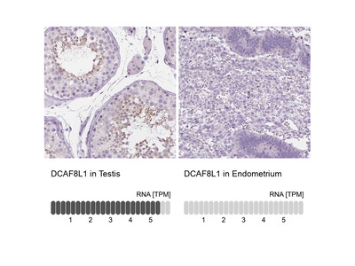 DCAF8L1 Polyclonal Antibody