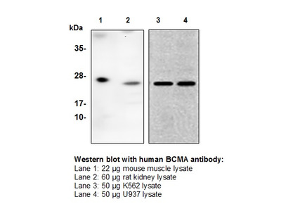 BCMA (TNFRSF17) Antibody