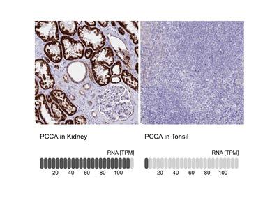 PCCA Polyclonal Antibody