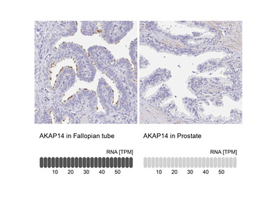 AKAP14 Antibody