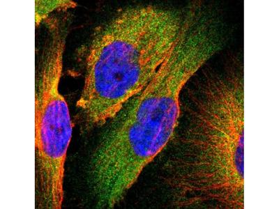TSC22D2 Polyclonal Antibody