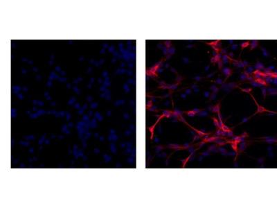 GFAP Monoclonal Antibody (GA5), eBioscience™