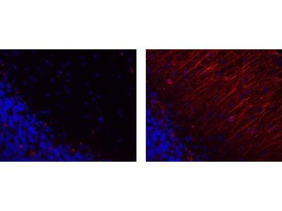 GFAP Monoclonal Antibody (GA5), eFluor 570, eBioscience™