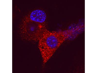 Human / Mouse ZAG Antibody