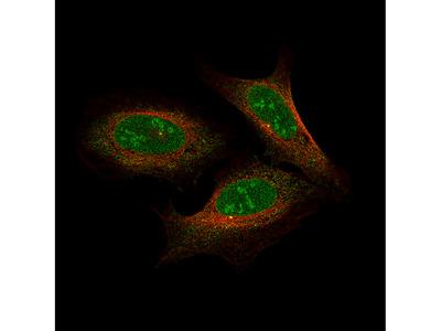 Anti-NFE2L2 Antibody