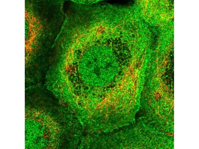 Anti-PLEKHG3 Antibody