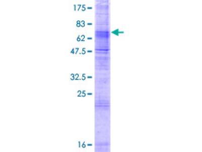 SLC24A5 / NCKX5 Protein