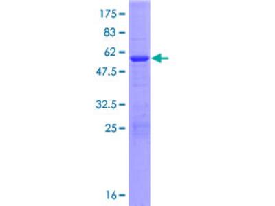 ABHD17B / FAM108B1 Protein