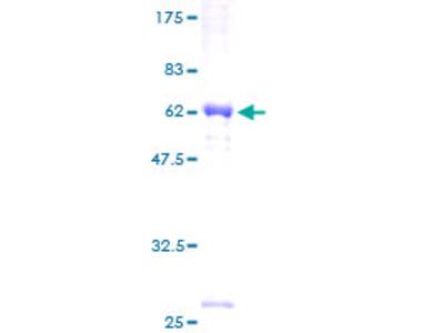 SRGAP3 Protein