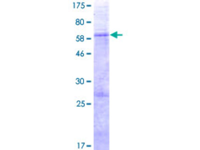 SLC25A33 Protein