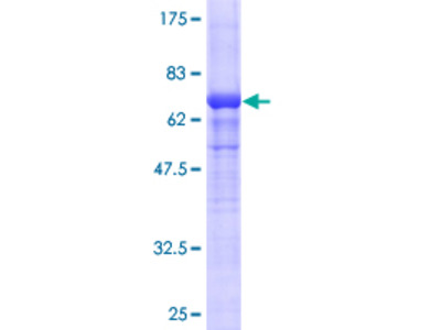 ACTG2 Protein