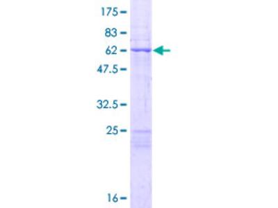 MRPL44 Protein