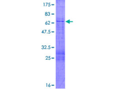 MFGE8 /Lactadherin Protein