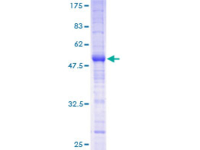 MS4A12 Protein