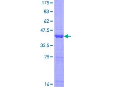 ANKRD37 Protein