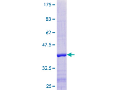 INIP / C9orf80 Protein