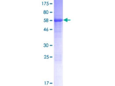 TEX13B Protein