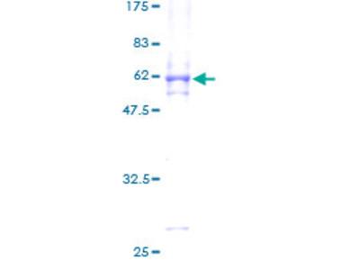 MAPK15 / ERK7 Protein