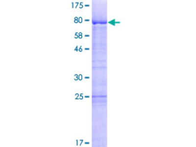 LSM14A Protein
