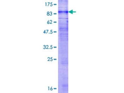 GPR176 Protein