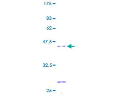 SDHC Protein