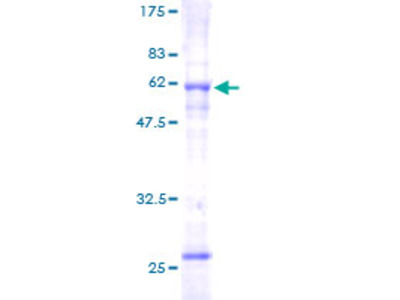 SLC25A3 Protein
