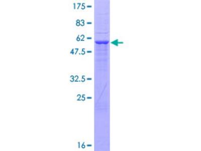 UHMK1 / KIS Protein
